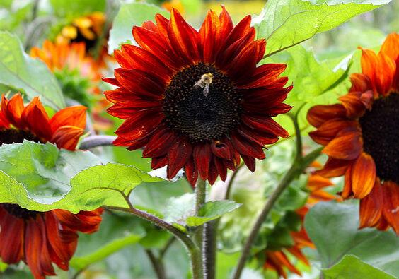 CapeceSunflowers